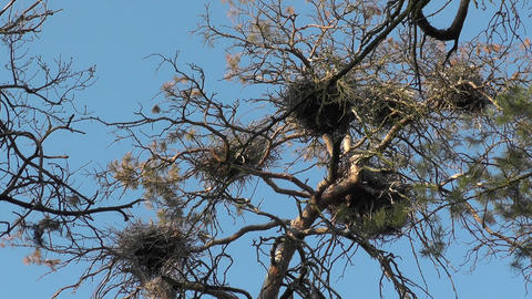 Gray herons flies over its nests with loud cries in spring colony. Ardea cinerea Live Action