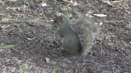 squirrel feeds in Florida wetlands Footage