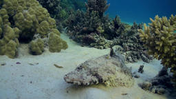 Fish crocodile on sandy bottom of a tropical reef Footage