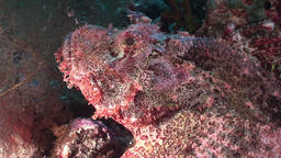 Dangerous poisonous stone fish in coral of underwater landscape in Red sea Footage