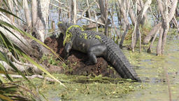 large alligator in Florida wetlands Footage