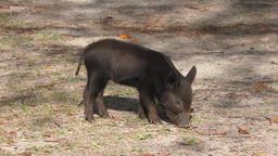 piglet in Florida wetlands Footage