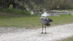 Sandhill Cranes grooming and stretching its wings Footage