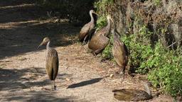 limpkins resting in wetlands Footage