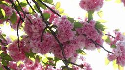 Blooming pink sakura tree branch. Cherry sakura spring flowers ビデオ