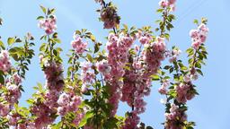 Blooming pink sakura tree branch. Cherry sakura spring flowers Footage