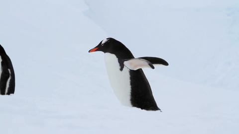 Gentoo Penguins in Antarctica Live Action