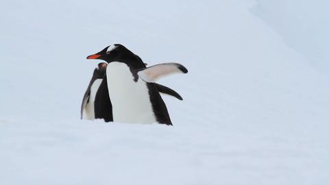 Gentoo Penguins in Antarctica Stock Video Footage