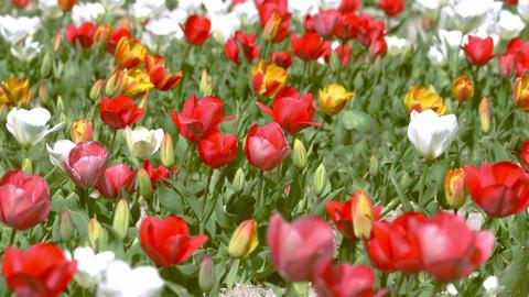 Tulip 24 ライブ動画