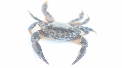 Crab stands in aggressive postures Live Action