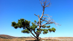 Lonely old half dry pine on plateau 1. Dry mountain meadows and mountain steppes Live Action