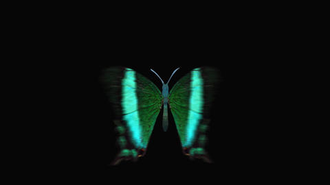Butterfly green Front Animation