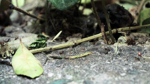 Ants running Close Up Macro_9 Footage