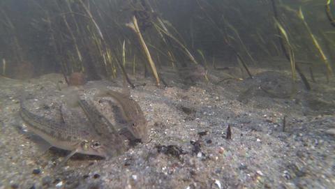 Flock of fish Gobio gobio, or gudgeon family Cyprinidae dig sandy river bottom Footage