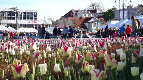 Tulips In Bloom On Sopot Square GIF