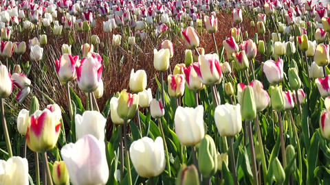 Tulips Blowing In The Wind Footage