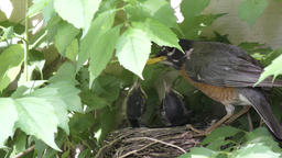 american robin takes care of its chicks Footage