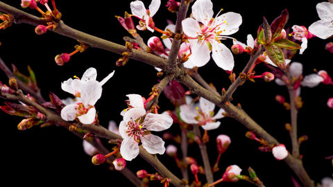 White Flowers Blossoms on the Branches Cherry Tree Footage