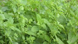 peppermint plants in the rain Footage