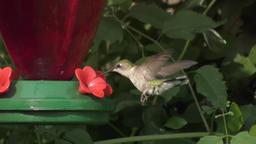 Ruby- throated hummingbird female Footage
