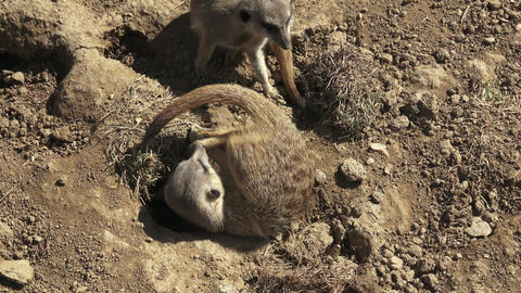 Group meercats (Suricata suricatta) fighting. Meerkats playing in the sand Footage