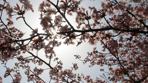 満開の桜と木漏れ日 ライブ動画