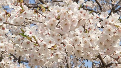 満開の桜 ライブ動画