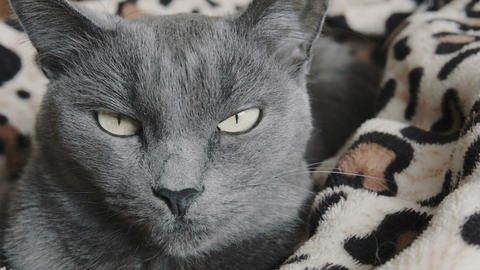 Close-up of a gray cat Footage