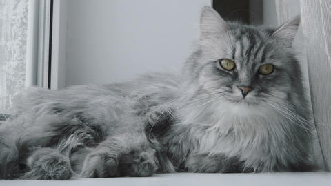 Close-up of a gray cat cleaning fur Live Action