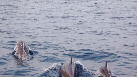 Family of Dolphins Jumping near a Boat. Slow Motion Live Action