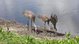 sandhill cranes family feed Footage