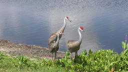 sandhill crane family walking Footage