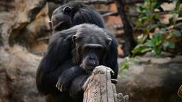 Chimpanzee monkeys sitting in a tree - Pan troglodytes Footage