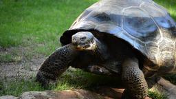 Galápagos tortoise or Galápagos giant tortoise walking - Chelonoidis nigra Footage
