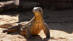Komodo dragon or Komodo monitor sunbathing - Varanus komodoensis Footage