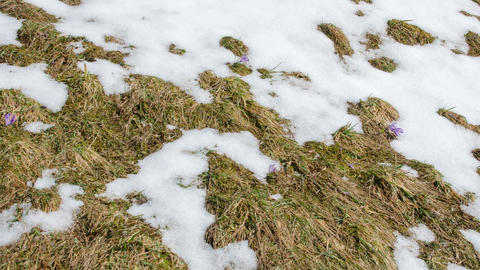 Fast melting snow on meadow Time lapse Footage
