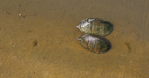 Two Mud Turtles GIF