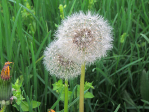 Close up of dandelions (Taraxacum) in the green grass Photo