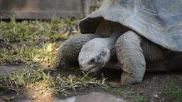 Galápagos giant tortoise or Galápagos tortoise eating - Chelonoidis nigra Footage