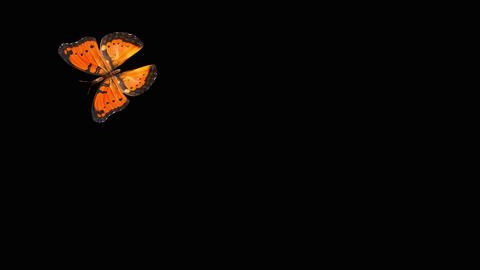 Butterfly Orange V2 NOblurNOparticle Animation