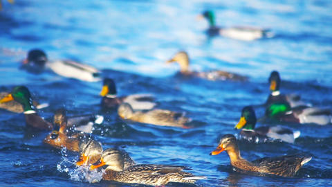 Ducks fighting for food in the river slowmotion Footage