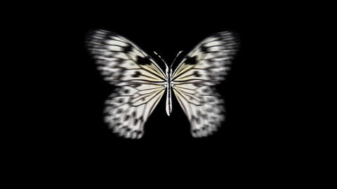 Butterfly white Front Animation