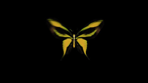 Yellow Butterfly flying Ani various All After Effects Template