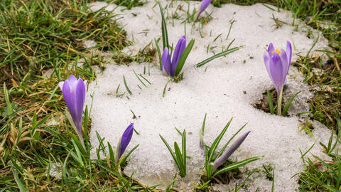 Snow melting and crocus flower blooming in spring Time lapse Footage