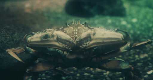 Portrait of a Dungeness Crab Footage