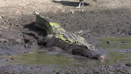 alligator swallows fish Footage
