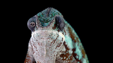 Panther Chameleon Looking Around GIF
