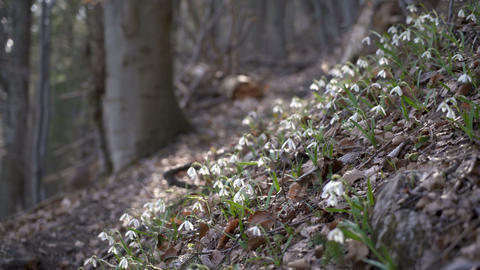 Snowdrops in forest breeze Footage