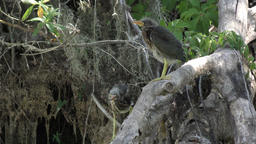 two young green herons yawning Footage