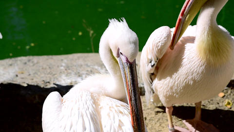 Large white pelicans clean feathers on a pond Footage